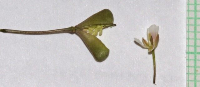 Раскрытая семенная коробочка и цветок Сумочника пастушьего, или Пастушьей сумки обыкновенной