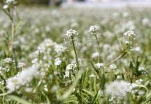 Пастушья сумка, или Сумочник — съедобный сорняк