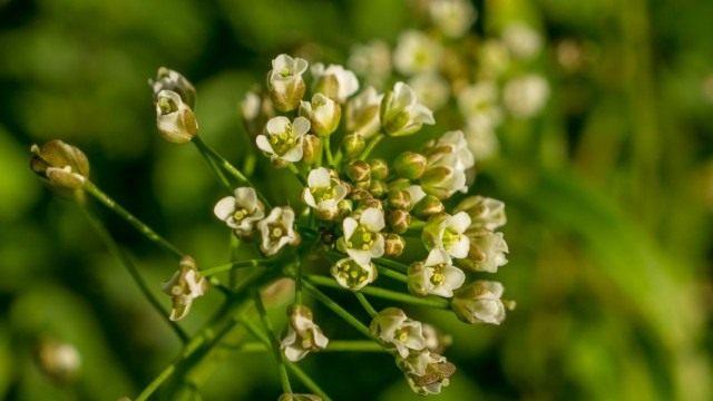 Пастушья сумка обыкновенная, или Сумочник пастуший (Capsella bursa-pastoris)