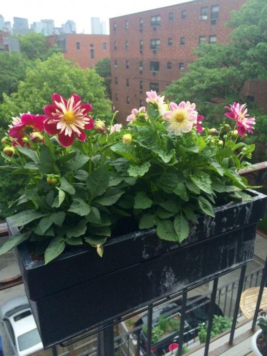 Георгины в кашпо на балконе