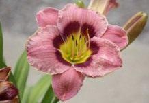 Лилейник — цветок для тех, кому некогда