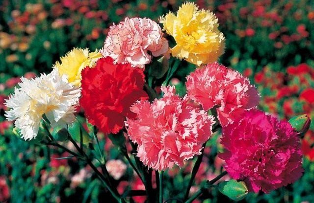 Гвоздики садовые группы Шабо (Dianthus caryophyllus var. chabaud)