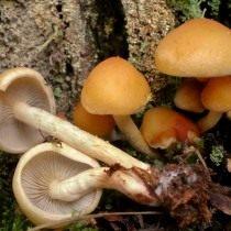 Ложноопёнок серопластинчатый (Hypholoma capnoides)