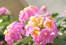 Лантана — веселые соцветия