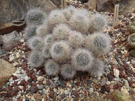 Маммиллярия бокасанская (Mammillaria bocasana)