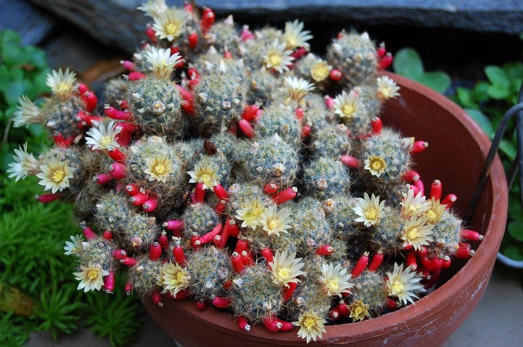 Цветками кактуса