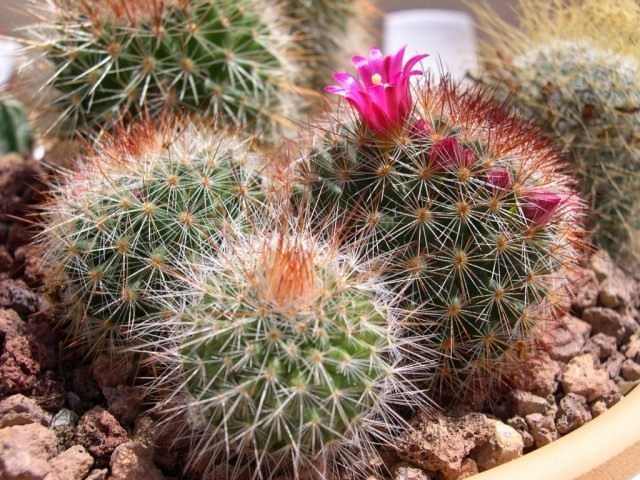 Маммиллярия колючейшая (Mammillaria spinosissima)