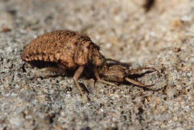 Личинка муравьиного льва