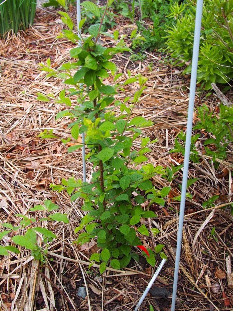 Посадка и выращивание вишни войлочной 71