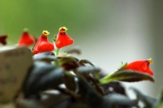 Неомортония монетолистная (Neomortonia nummularia), или Гипоцирта монетолистная (Hypocyrta nummularia)