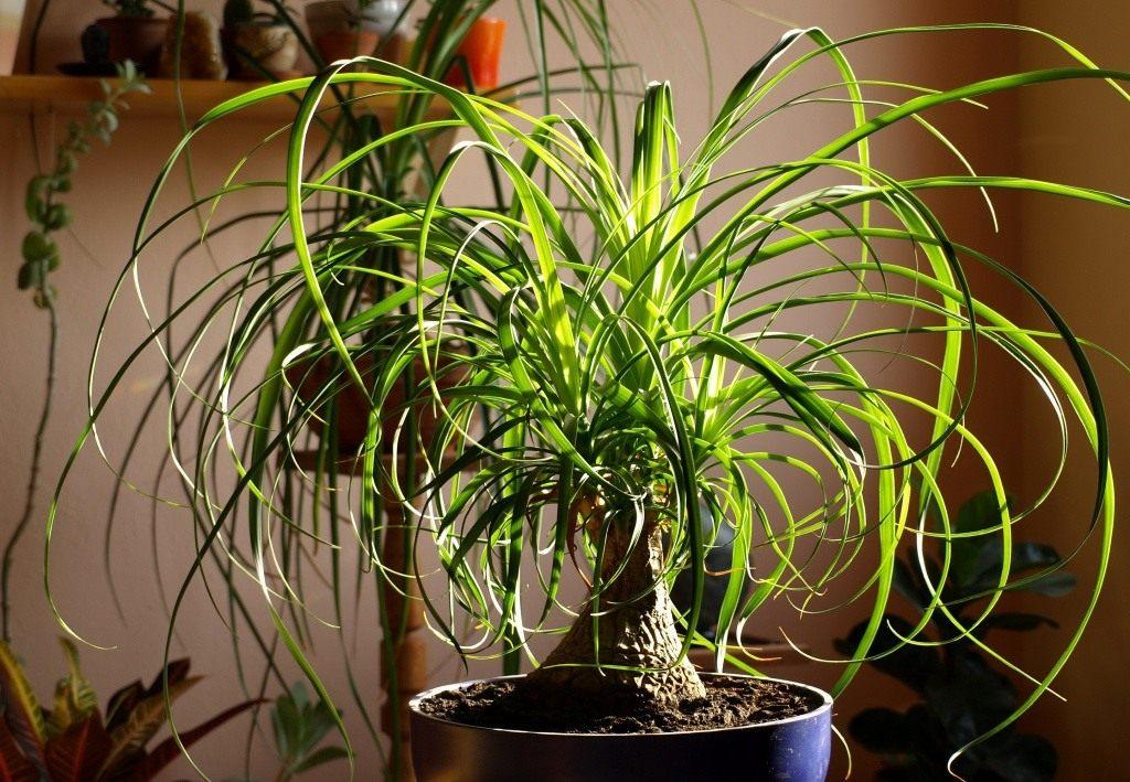 Бутылочное дерево нолина выращивание 23