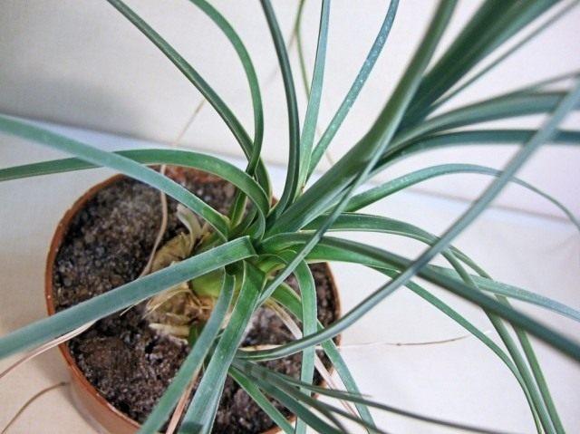 Бокарнея тонкая (Beaucarnea gracilis), или нолина тонкая (Nolina gracilis)