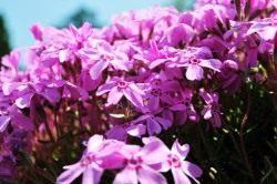 Флокс шиловидный, розовый