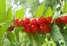 Ягоды вишни войлочной на ветке