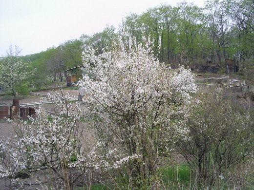 Цветение вишни войлочной в мае
