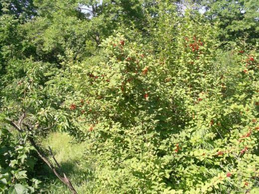 Куст вишни войлочной со зрелыми ягодами