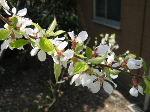Цветы вишни войлочной на ветке