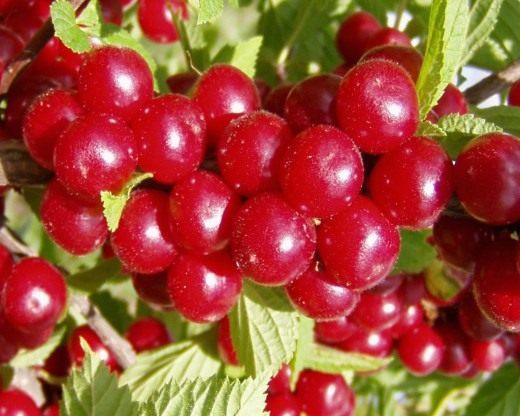 Ягоды вишни войлочной