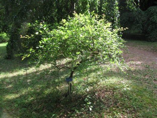 Молодое дерево Алычи