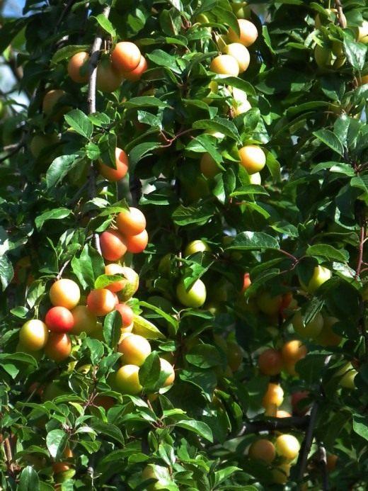 Алыча, или Слива растопыренная, или Слива вишненосная (лат. Prunus cerasifera)