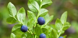 Черника, или Черника обыкновенная, или Черника миртолистная (Vaccinium myrtillus)
