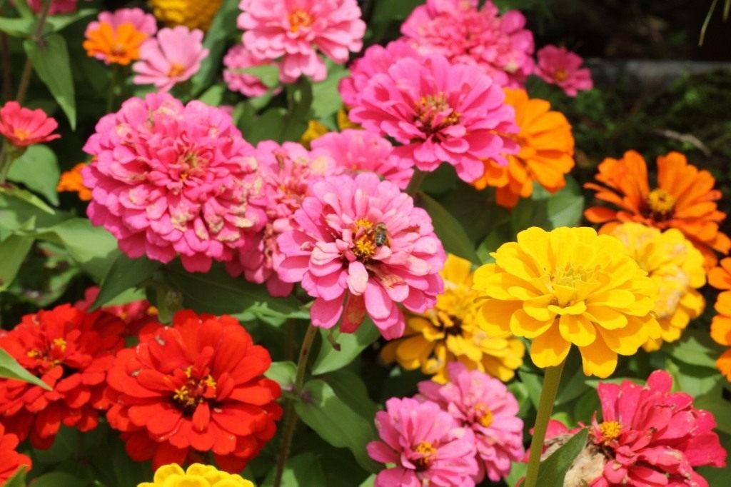 http://www.botanichka.ru/wp-content/uploads/2010/07/Zinnia.jpg