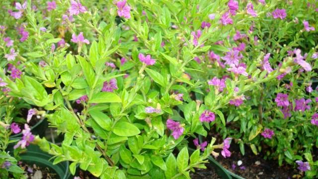 Куфея иссополистная (Сuphea hyssopifolia)