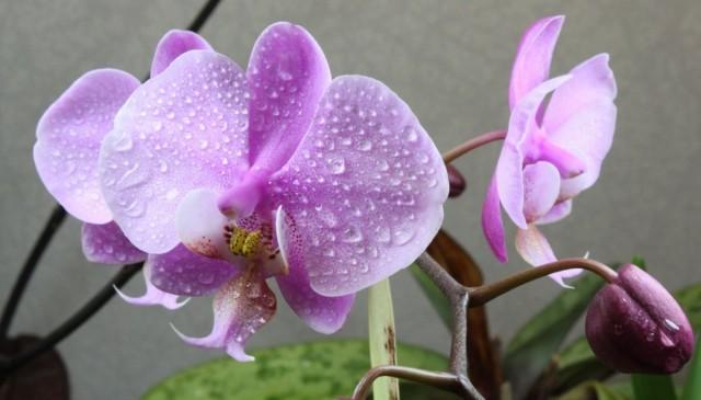Фаленопсис шиллера (Phalaenopsis schilleriana)