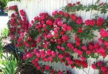 Роза плетистая пущена по забору