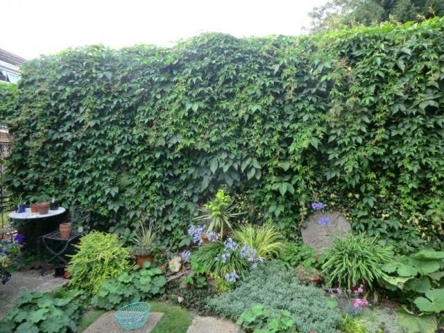 Стена закрыта виноградом