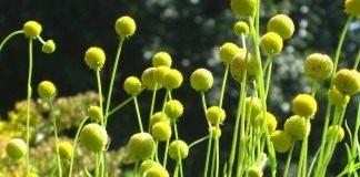 Гелениум ароматный, или Цефалофора ароматная (Helenium aromaticum)