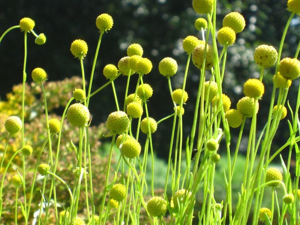 Гелениум ароматный, или Цефалофора — земляничная трава