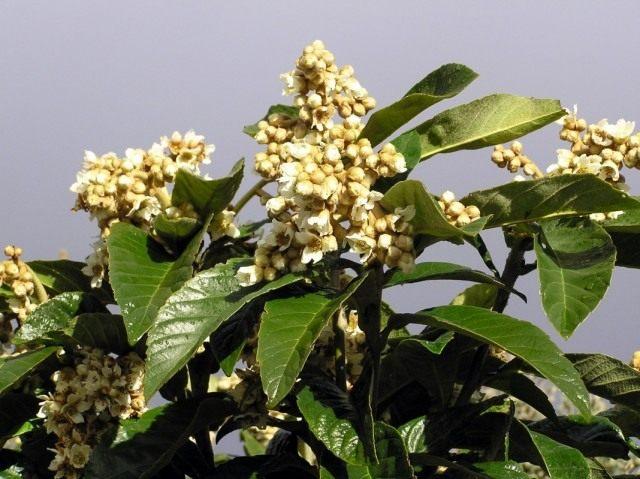 Эриоботрия японская, или японская мушмула (Eriobotrya japonica)
