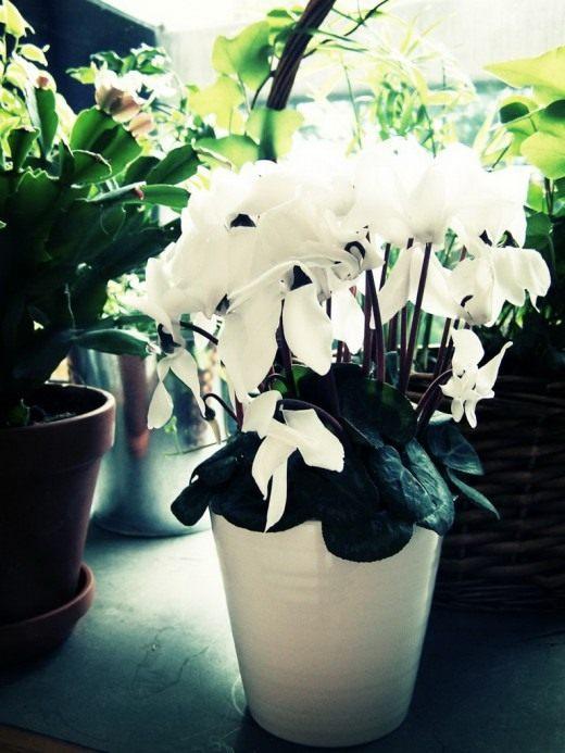 Цветы женское счастье цветоводы