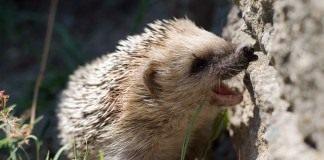 Ёж (Hedgehog)