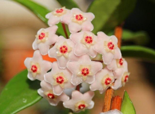 Хойя мясистая (Hoya carnosa)