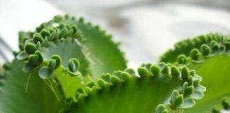 Бриофиллум чашечковидный (Kalanchoe pinnata (Syn. Bryophyllum calycinum, Bryophyllum pinnatum))