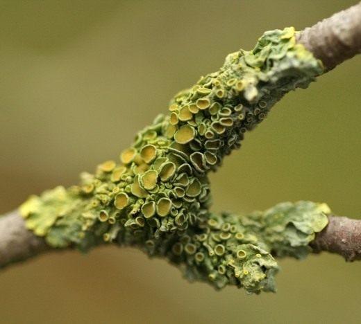 Ксантория настенная (Xanthoria parietina) — лишайник семейства Телосхистовые, вид рода Ксантория.