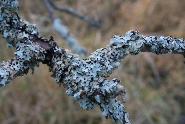 Пармелия бороздчатая (Parmelia sulcata) растёт на стволах и ветвях лиственных и хвойных деревьев, а также на обработанной древесине и каменистом субстрате, как правило, в хорошо освещённых местах