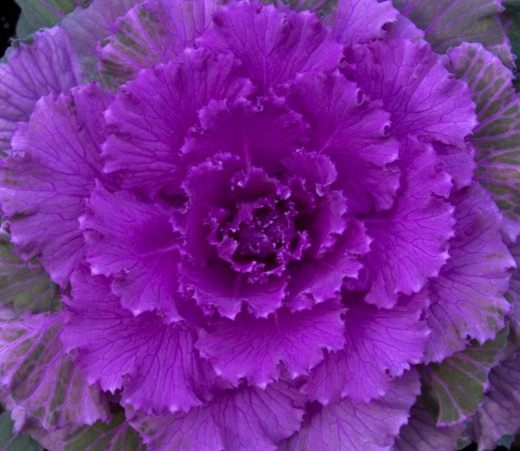 Декоративная капуста (Ornamental cabbage)