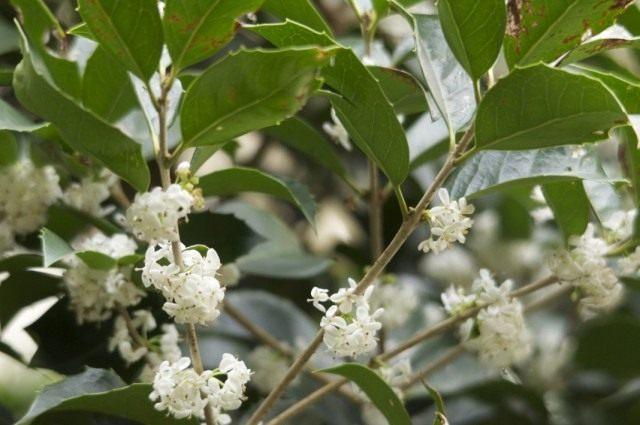 Османтус форчуна (Osmanthus fortunei)
