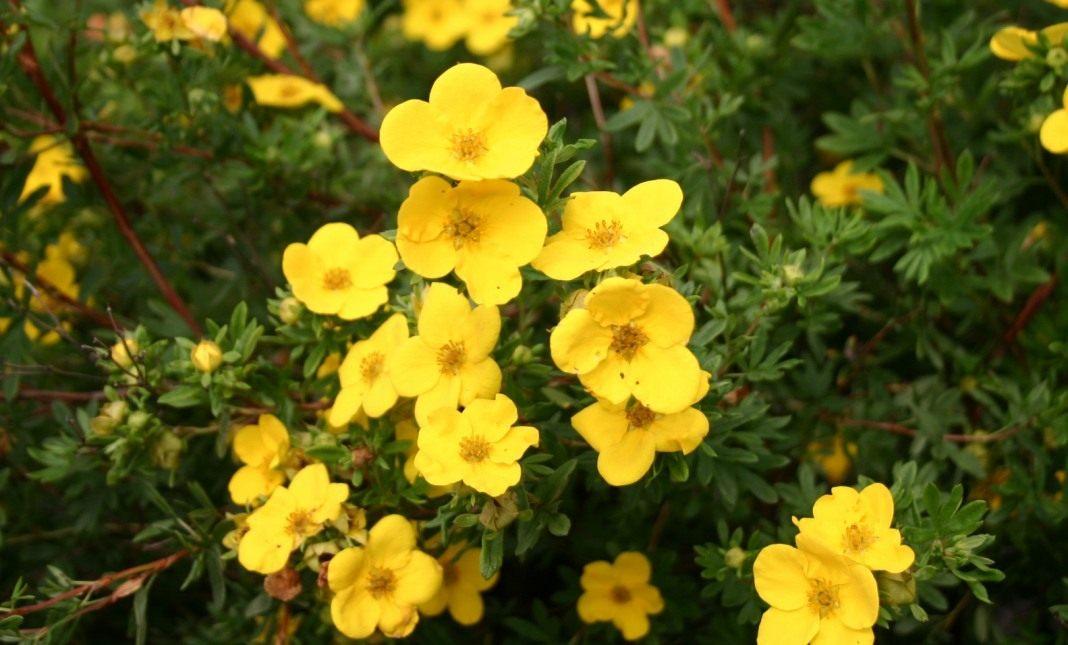Лапчатка кустарниковая уход и выращивание полезные свойства 44