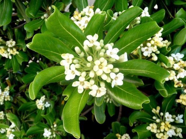 Питтоспорум пахучий, или смолосемянник (Pittosporum tobira)