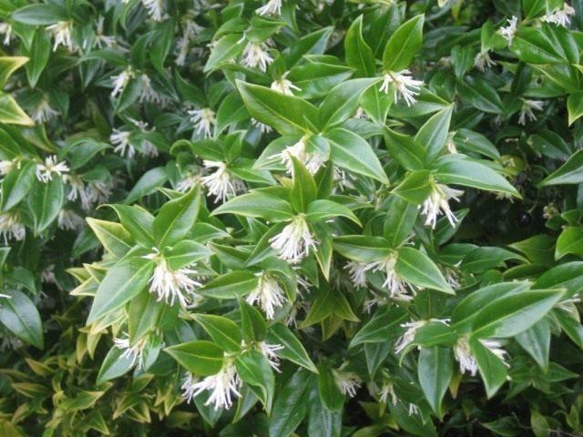 Саркококка низкая (Sarcococca humilis)