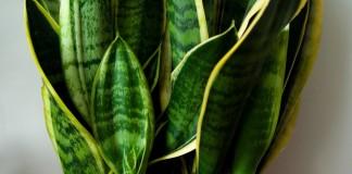 Сансевиера трехполосная (Sansevieria trifasciata)