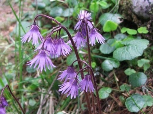 Сольданелла карпатская (Soldanella carpatica)