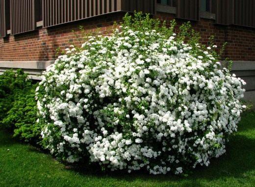 Спирея Вангутта (Spiraea ×vanhouttei)