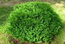 Удивительное дерево — туя