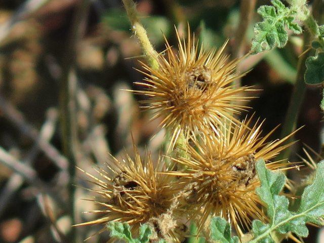 Паслён колючий (Solanum rostratum)