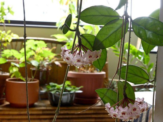 Ароматы круглый год: душистые растения для комнат и зимних садов